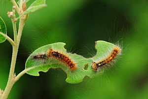 Gypsy Moth (Lymantria dispar) caterpillars feeding on a leaf. Near Neum at border between Croatia & Bosnia, May.  -  Robert Thompson