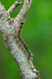 Gypsy Moth (Lymantria dispar) caterpillar climbing a twig. Near Neum at border between Croatia & Bosnia, May.  -  Robert Thompson