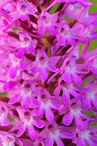 Orchid (Anacamptis coriophora) flower spike close-up. Croatia, May.  -  Robert Thompson