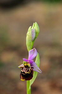 Orchid (Ophrys dinarica) in flower. South of Ramijane, Drnis Siinj road, Croatia, May.  -  Robert Thompson