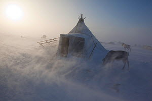 During a Spring storm, blowing snow swirls around a Nenets reindeer herders' winter camp on the tundra near Tambey. Yamal Peninsula, Western Siberia, Russia, March 2011  -  Bryan and Cherry Alexander