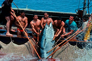 Mattanza fishermen landing Giant Bluefun tuna (Thunnus thynnus) using a technique in which a maze of nets are set, leading to a central pool, Favignana, Italy, May / June Model released.  -  Jeff Rotman