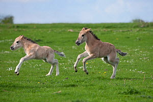 Konik horses (Equus caballus) - Two wild Konik young colts running one after the other, Millingerwaard nature reserve, Netherlands, April  -  Kristel Richard