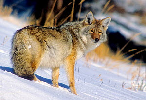 Coyote (Canis latrans) in snow with heavy winter coat, Yellowstone NP, Wyoming, USA - Charlie Summers