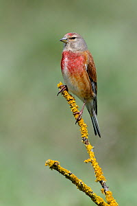 Linnet (Acanthis / Carduelis cannabina) perched on a lichen-covered twig. Breton Marsh, French Atlantic Coast,  April. - Loic Poidevin