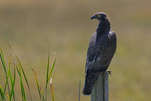 Honey Buzzard (Pernis apivorus) perched on a post. Breton Marsh, French Atlantic Coast,  July. - Loic Poidevin