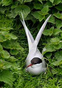 Common Tern (Sterna hirundo) among nettles. Farne Isles, UK, June.  -  Loic Poidevin