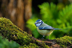 Blue Tit (Parus caeruleus) perched on mossy branch. Breton Marsh, French Atlantic Coast,  November.  -  Loic Poidevin