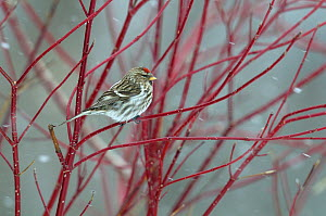 Redpoll (Carduelis flammea) perched on a branch in snow. Breton Marsh, French Atlantic Coast,  March.  -  Loic Poidevin
