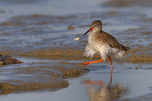 Redshank (Tringa totanus) walking on mud. Breton Marsh, French Atlantic Coast,  November.  -  Loic Poidevin