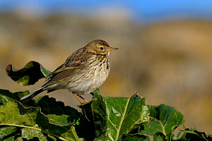 Meadow Pipit (Anthus pratensis) perched on leaves. Breton Marsh, French Atlantic Coast,  December.  -  Loic Poidevin