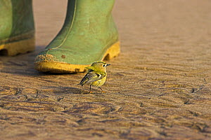 Goldcrest (Regulus regulus), probably a wind-blown migrant, on beach sheltering by wellington boot. Donna Nook, Lincolnshire, England, October.  -  Mike Read