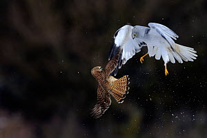 Northern / Hen Harrier (Circus cyaneus) and Kestrel (Falco tinnunculus) below, fighting in flight. Vosges, France, February. - Fabrice Cahez