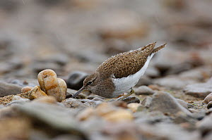Common Sandpiper (Actitis hypoleucos) foraging among stones. River Allier, France, July.  -  Fabrice Cahez