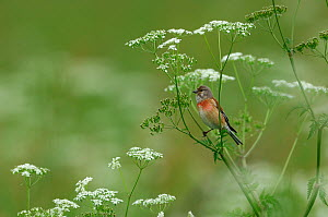 Common Linnet (Carduelis / Acanthis cannabina) perched in umbellifer. Vosges, France, May. - Fabrice Cahez