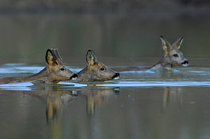 Roe Deer (Capreolus capreolus) swimming across  River Allier, France, February.  -  Fabrice Cahez