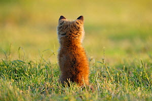 Young Red fox (Vulpes vulpes) sitting, rear view, Vosges, France, May.  -  Fabrice Cahez