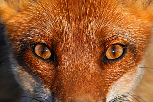 Close-up portrait of a Red Fox (Vulpes vulpes). Vosges, France, June. Not available for ringtone/wallpaper use.  -  Fabrice Cahez