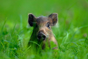 Young Wild Boar (Sus scrofa) sitting in grass. Vosges, France, July.  -  Fabrice Cahez