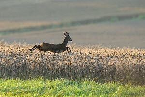Roe Deer (Capreolus capreolus) male running through cereal crop. Vosges, France, July.  -  Fabrice Cahez