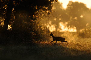 Roe Deer (Capreolus capreolus) female silhouetted against dawn light. Vosges, France, July.  -  Fabrice Cahez