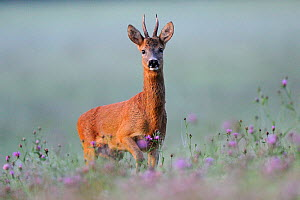 Portrait of a Roe Deer (Capreolus capreolus) buck in dawn light. Vosges, France, July.  -  Fabrice Cahez