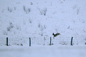 Roe Deer (Capreolus capreolus) jumping over  barbed wire fence in snow. Vosges, France, January. - Fabrice Cahez