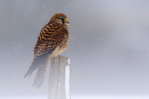 Kestrel (Falco tinnunculus) perched on a post. Vosges, France, February. - Fabrice Cahez