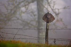 Eurasian Sparrowhawk (Accipiter nisus) rear view perching on fence post with tail feathers spread. Vosges, France, January.  -  Fabrice Cahez