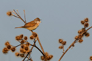Common Whitethroat (Sylvia communis) calling. Vosges, France, May.  -  Fabrice Cahez