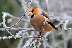 Hawfinch (Coccothraustes coccothraustes) perched in frosty branches. Vosges, France, January.  -  Fabrice Cahez