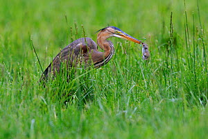 Purple Heron, (Ardea purpurea) with rodent prey in beak. River Allier, France, May. Sequence 2/2  -  Fabrice Cahez