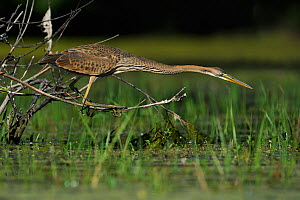 Purple Heron (Ardea purpurea) hunting by water. River Allier, France, July.  -  Fabrice Cahez