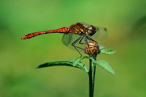 Ruddy Sympetrum (Sympetrum sanguineum) perched on a flower head. Allier, France, July.  -  Fabrice Cahez