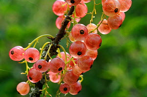 Redcurrants (Ribes rubrum) ripening on stem. Vosges, France, June.  -  Fabrice Cahez