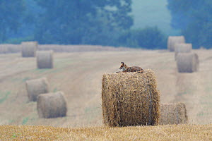 Red Fox (Vulpes vulpes) resting  on  straw bale in field. Vosges, France, July.  -  Fabrice Cahez