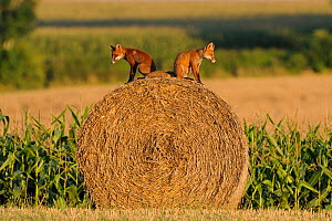 Young Red Foxes (Vulpes vulpes) sitting back to back on a hay bale in a field. Vosges, France, August.  -  Fabrice Cahez