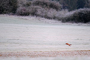 Red Fox (Vulpes vulpes) hunting in a frosty field. Vosges, France, October.  -  Fabrice Cahez