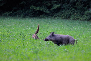 Red Fox (Vulpes vulpes) chasing a Wild Boar (Sus scrofa) in a field. Vosges, France, July. - Fabrice Cahez