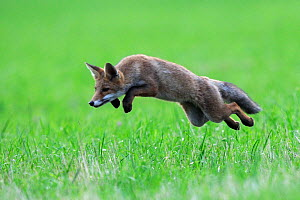 Red Fox (Vulpes vulpes) pouncing in grass. Vosges, France, July.  -  Fabrice Cahez