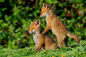 Young Red Foxcubs (Vulpes vulpes) playing on grass. Vosges, France, May.  -  Fabrice Cahez