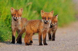 Young Red Fox cubs (Vulpes vulpes) looking towards the photographer.  Vosges, France, May.  -  Fabrice Cahez