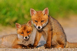 Portrait of two young Red Fox cubs (Vulpes vulpes). Vosges, France, June.  -  Fabrice Cahez