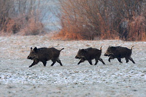 Wild Boar (Sus scrofa) family walking across frosty field. Vosges, France, January.  -  Fabrice Cahez