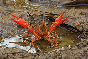Red Swamp Crawfish / Crayfish (Procambarus clarkii) raising its claws in a defensive posture. Louisiana, USA, April. Important commercial food item.  -  John Cancalosi