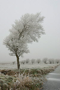 White willow tree (Salix alba) covered in hoar frost, Somerset Levels, UK, December 2010 - Nigel Bean