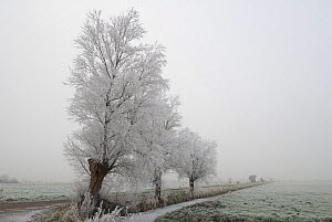 White willow trees (Salix alba) covered in hoar frost, Somerset Levels, UK, December 2010 - Nigel Bean