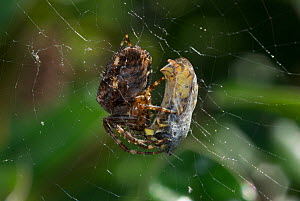 Garden spider (Araneus diadematus) with Common wasp (Vespula vulgaris) prey wrapped up on web, Somerset, UK, September  -  Nigel Bean