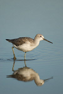 Greenshank (Tringa nebularia) adult in water, winter plumage, Brownsea Island, Dorset, UK, October  -  Nigel Bean