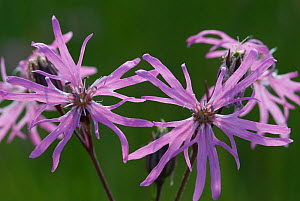 Ragged robin (Silene flos-cuculi) flowers, Norfolk, UK, June  -  Nigel Bean